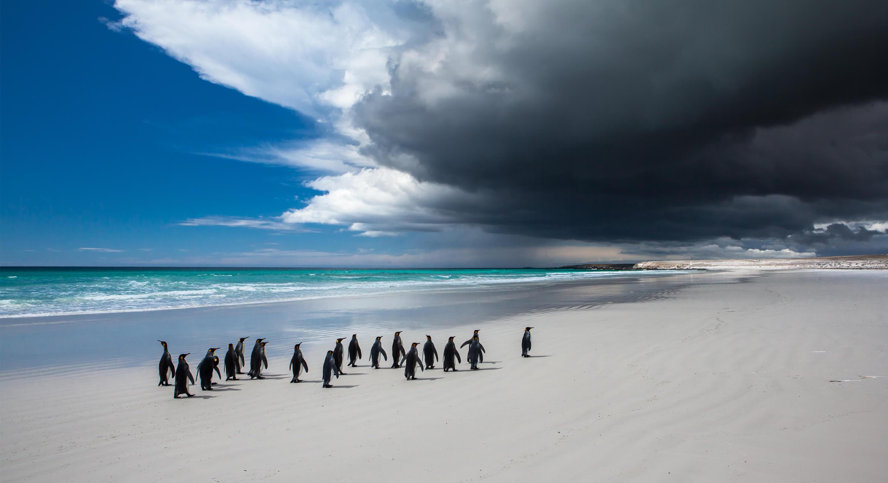 King-Penguins-1