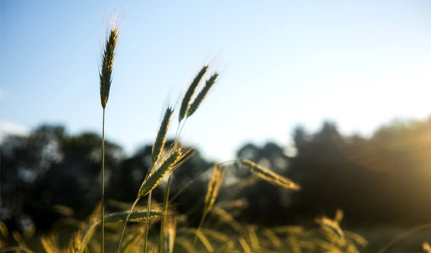 Grain field at sunset