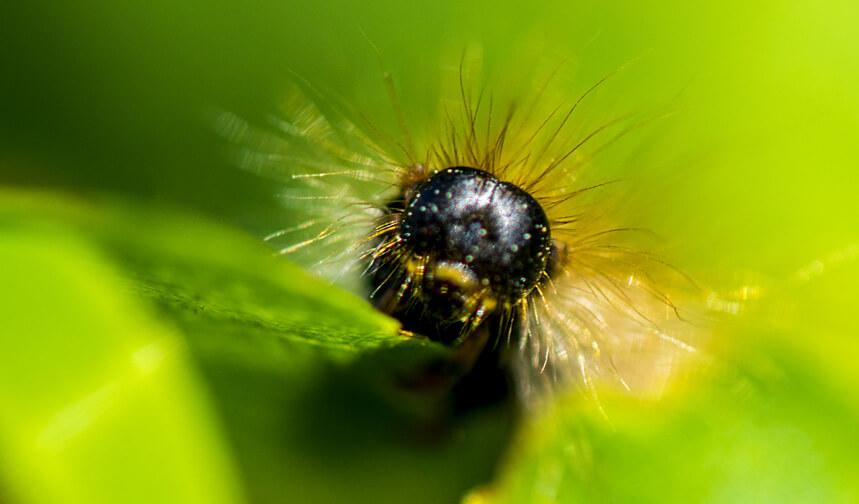 Brown-tail moth catepillar