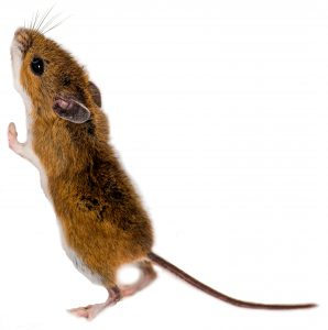 Mouse standing