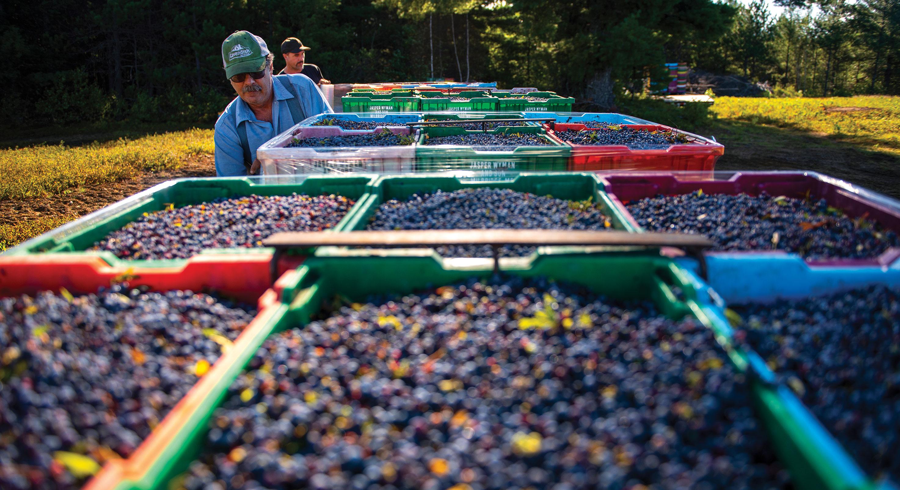 Blueberry_Sunkhaze-berries-1
