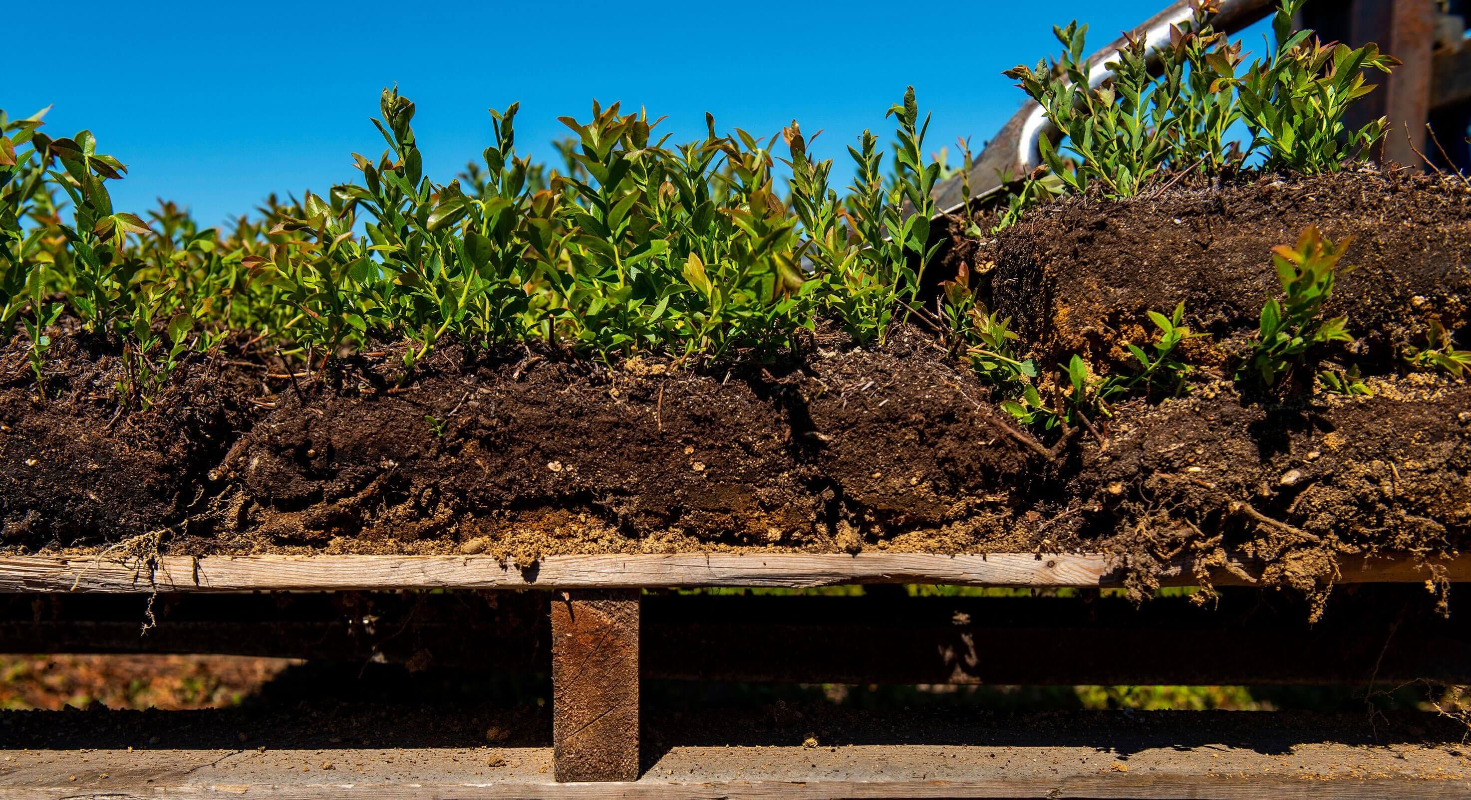 Blueberry_Sunkhaze-plants-1
