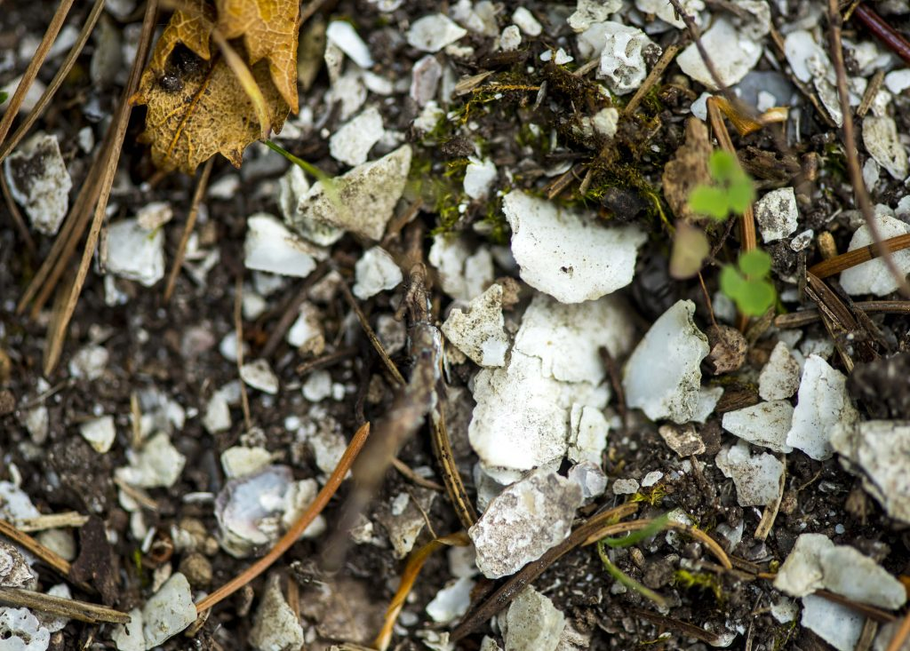Shells in a midden