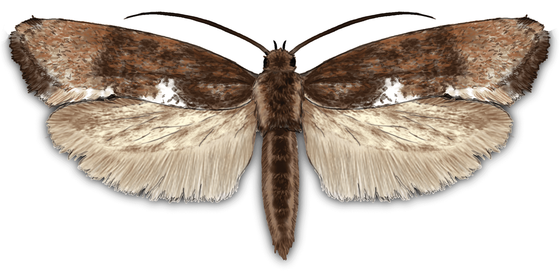 Leek Moth