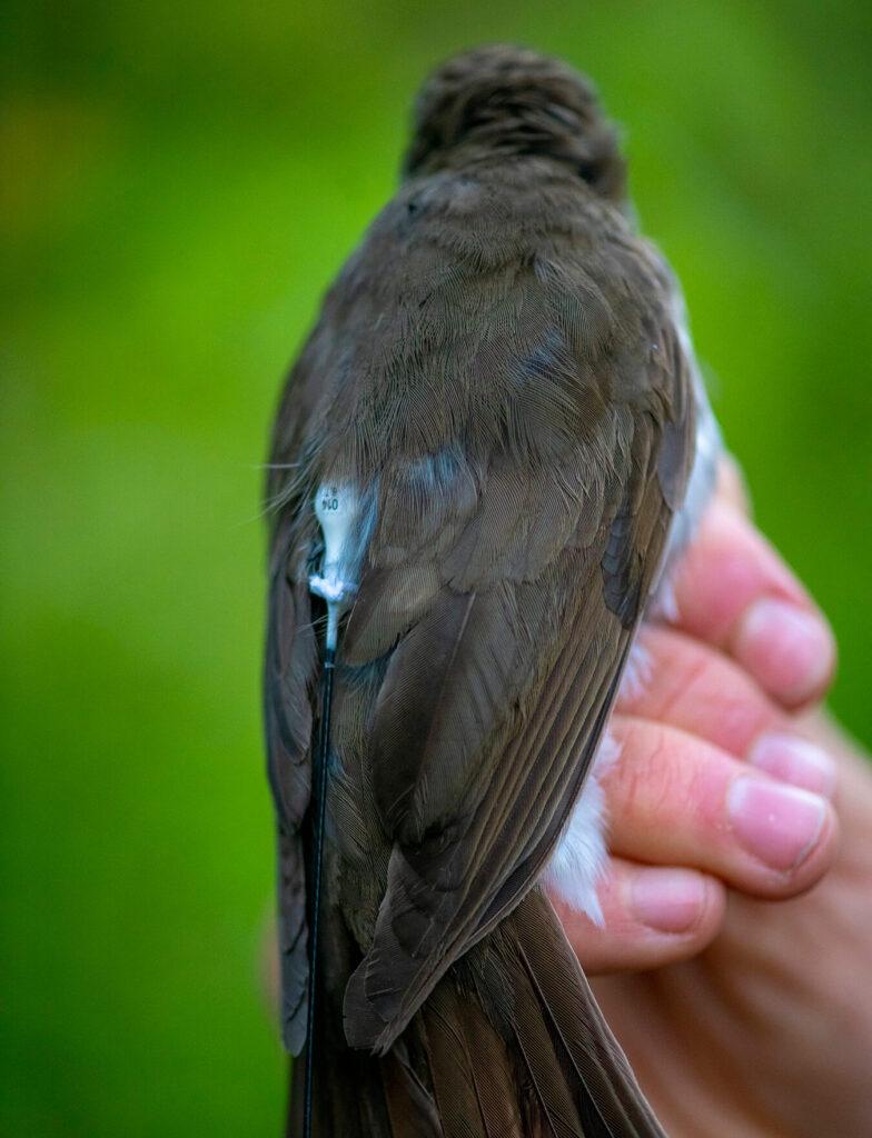 Bird with transmitter