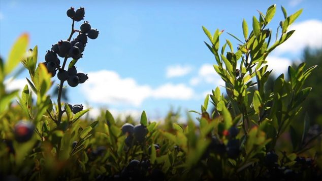 Maine's wild blueberries