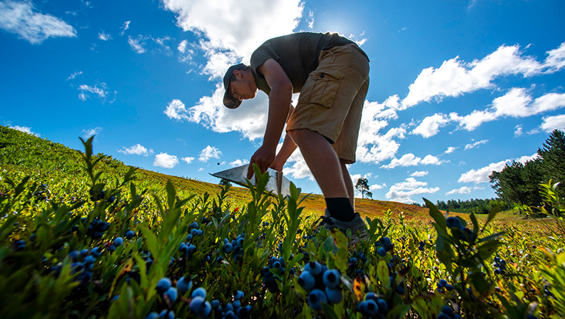 raking blueberries